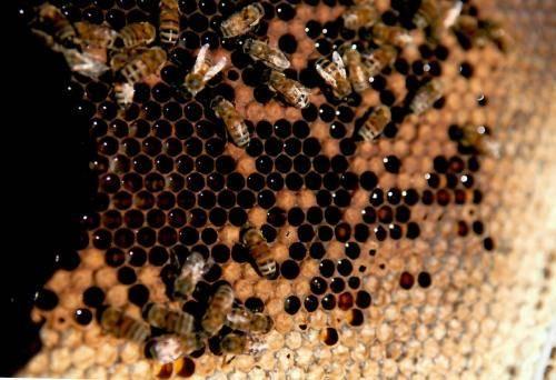 Sturgis Honey Bees Comb