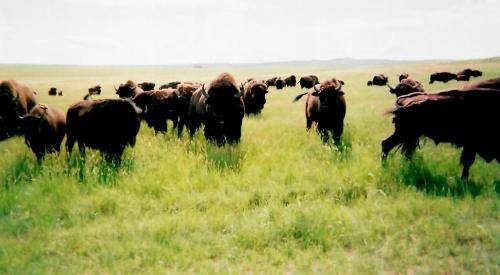 Sturgis Honey Buffalo Friends
